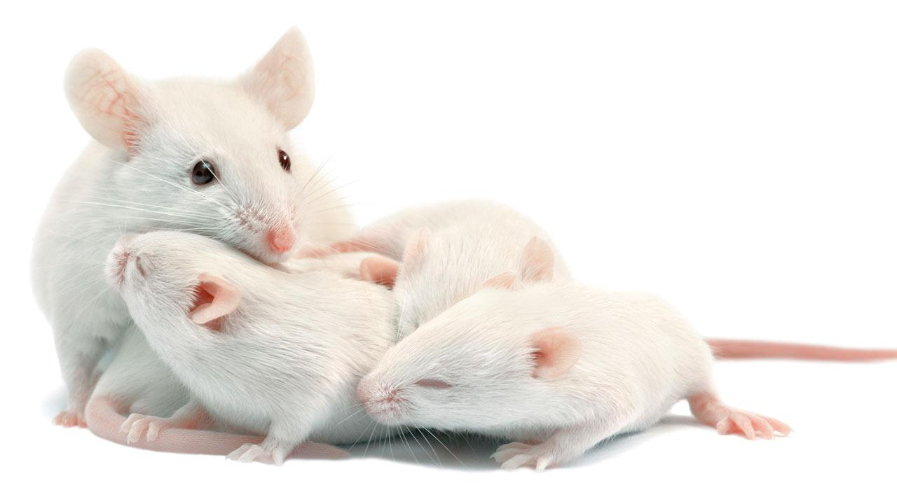 lab mouse pictures - 1280×720